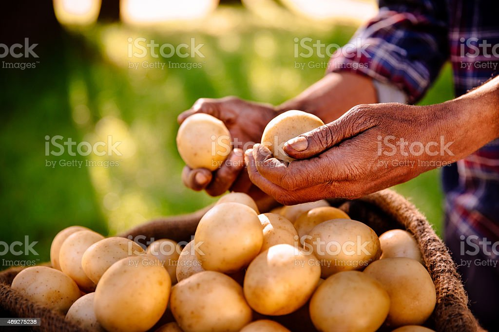 Clean nutritious potatoes from a healthy farm stock photo