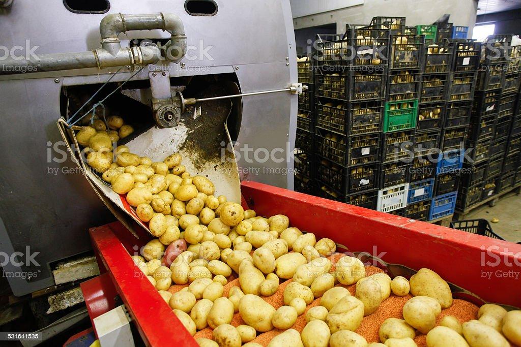 Cleaned potatoes on conveyor belt stock photo