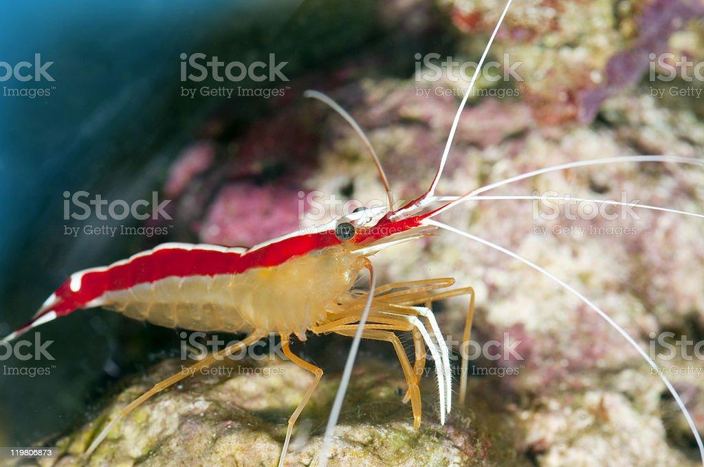 cleaner shrimp -Lysmata amboinensis stock photo