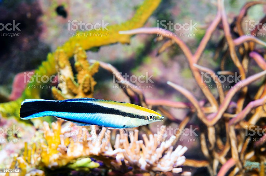 Cleaner Wrasse stock photo