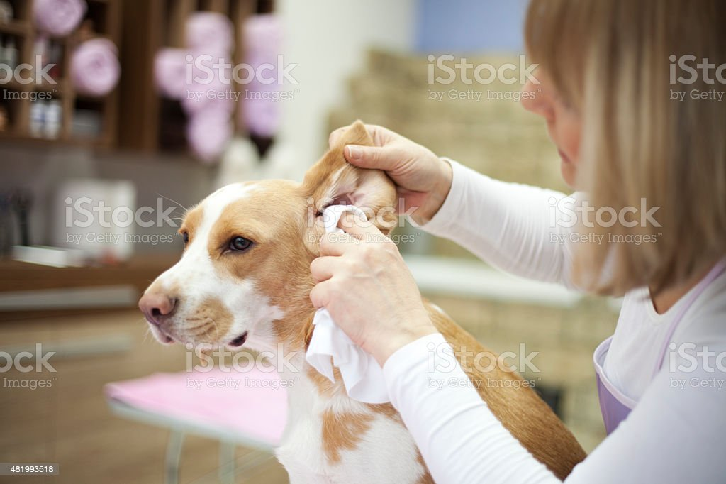 Cleaning dog ears stock photo