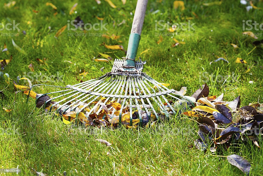 cleaning green lawn from fallen leaves stock photo
