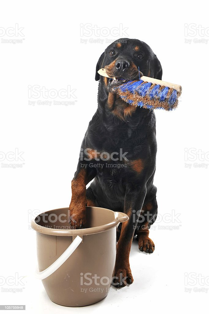 cleaning rottweiler stock photo