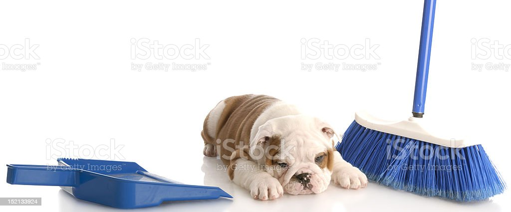 cleaning up after the dog stock photo