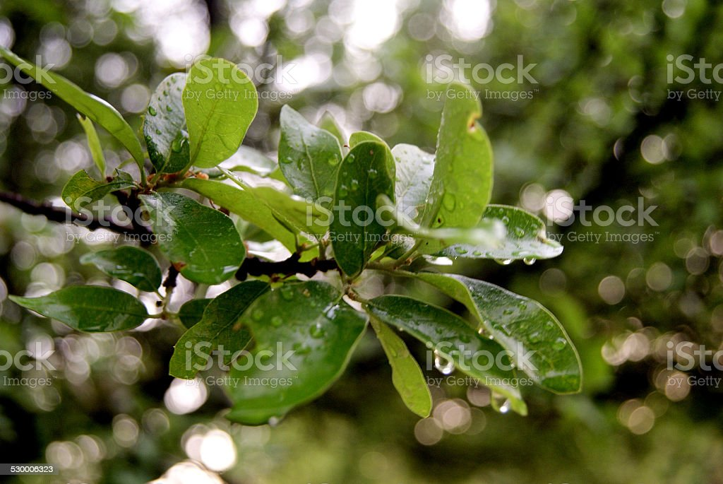 Clear Leafed Rain royalty-free stock photo