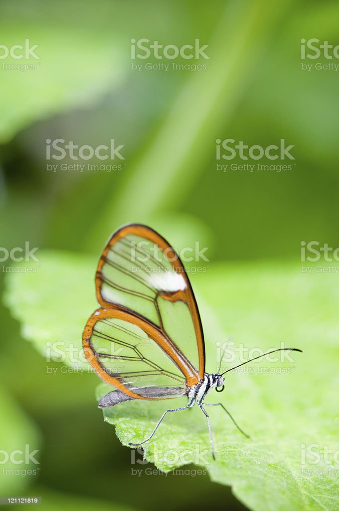 Clear wing butterfly (Greta oto) royalty-free stock photo