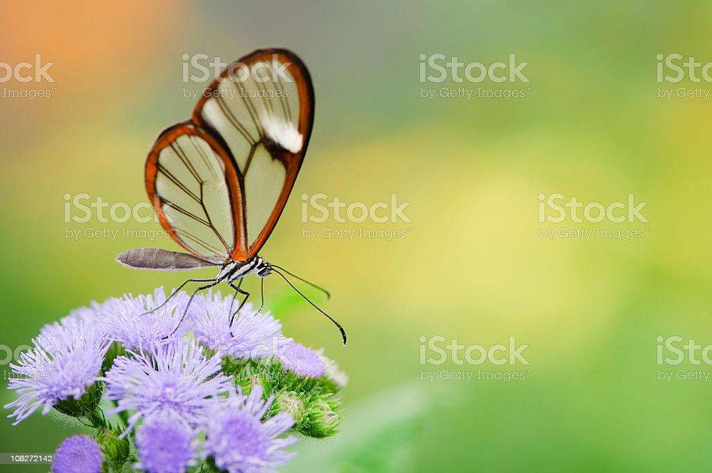 Clearwing Butterfly (Greta oto) royalty-free stock photo