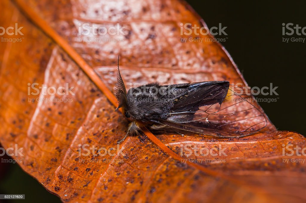 Clearwing Tussock moth on dried leaf stock photo