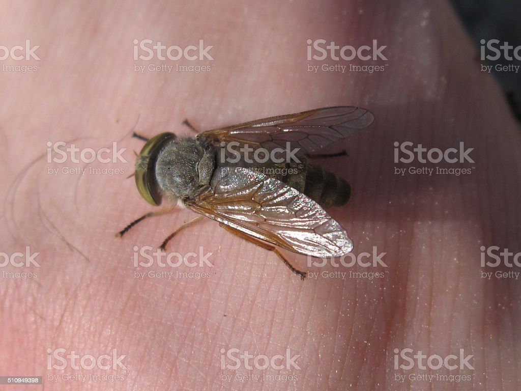 Cleg (Horsefly) Biting on a Human stock photo