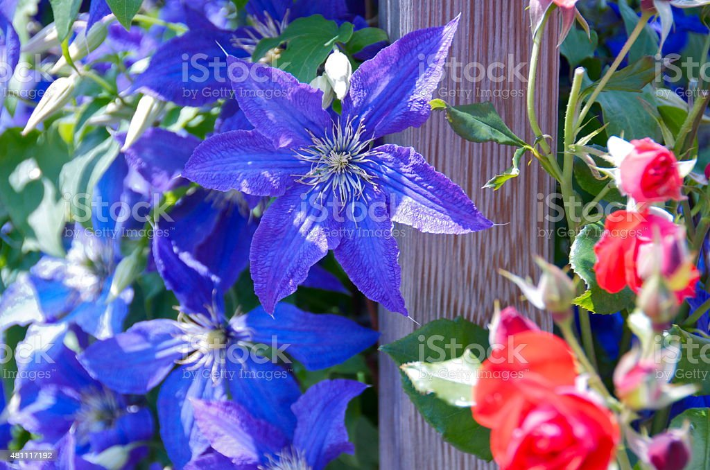 clematis and roses stock photo