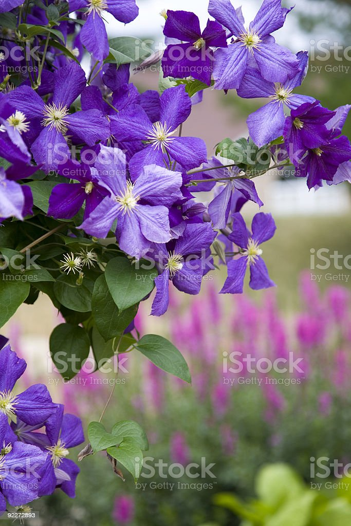 Clematis corner royalty-free stock photo