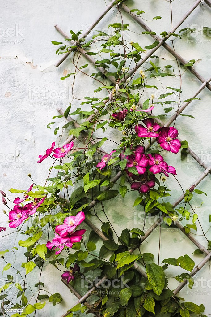 Clematis crawling on wooden trellis stock photo
