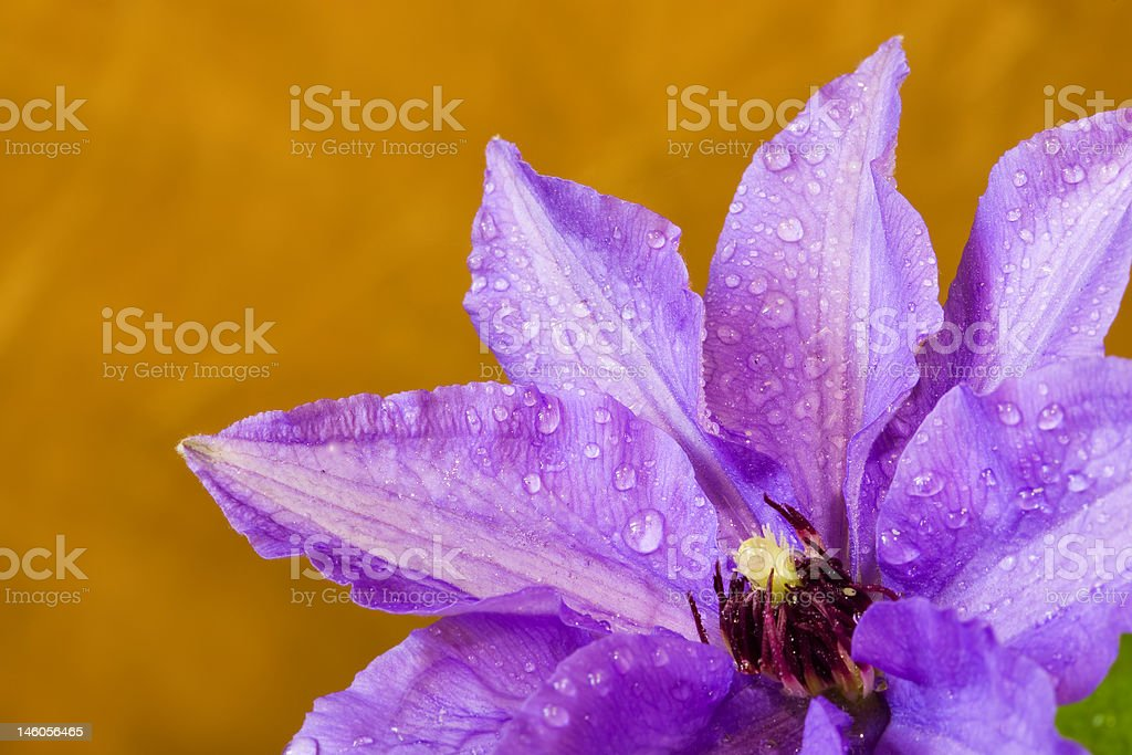 Clematis, drops, three royalty-free stock photo