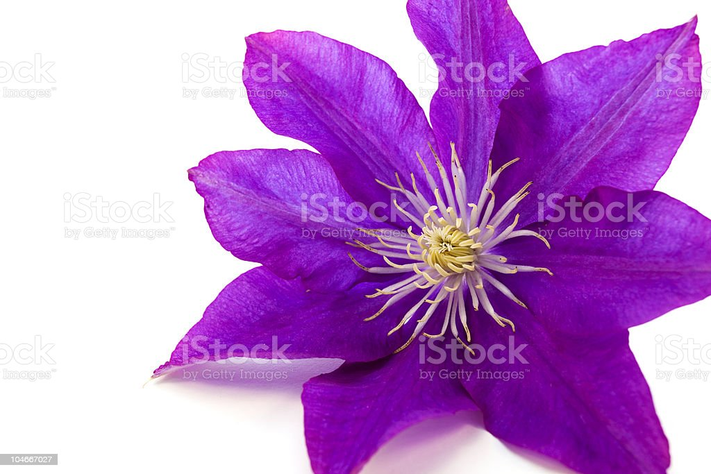 Clematis Flower royalty-free stock photo