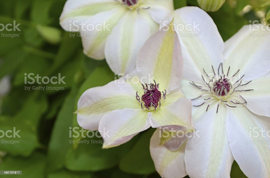 Clematis Flowering Vine stock photo