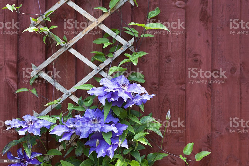 Clematis flowers climbing trellis against red wall stock photo