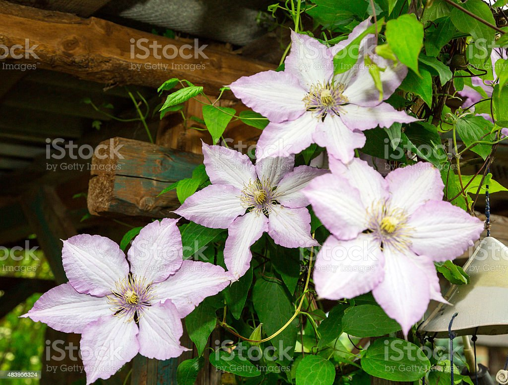 clematis flowers. flora stock photo