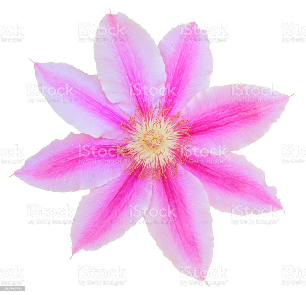 Clematis isolated - inclusive clipping path stock photo