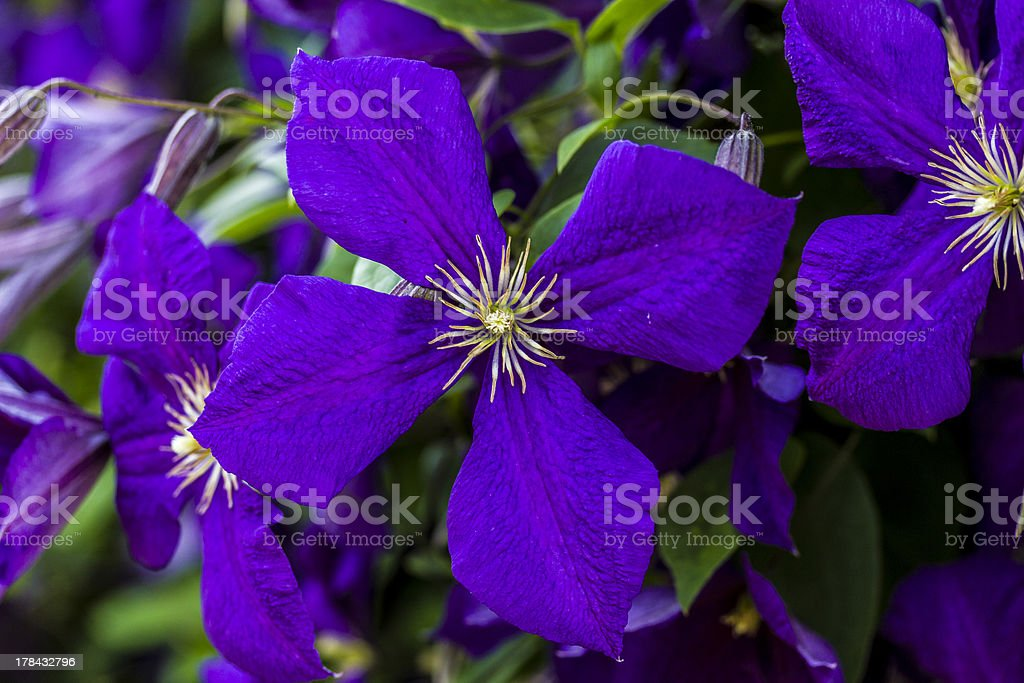 Clematis Jackmannii single blossom stock photo