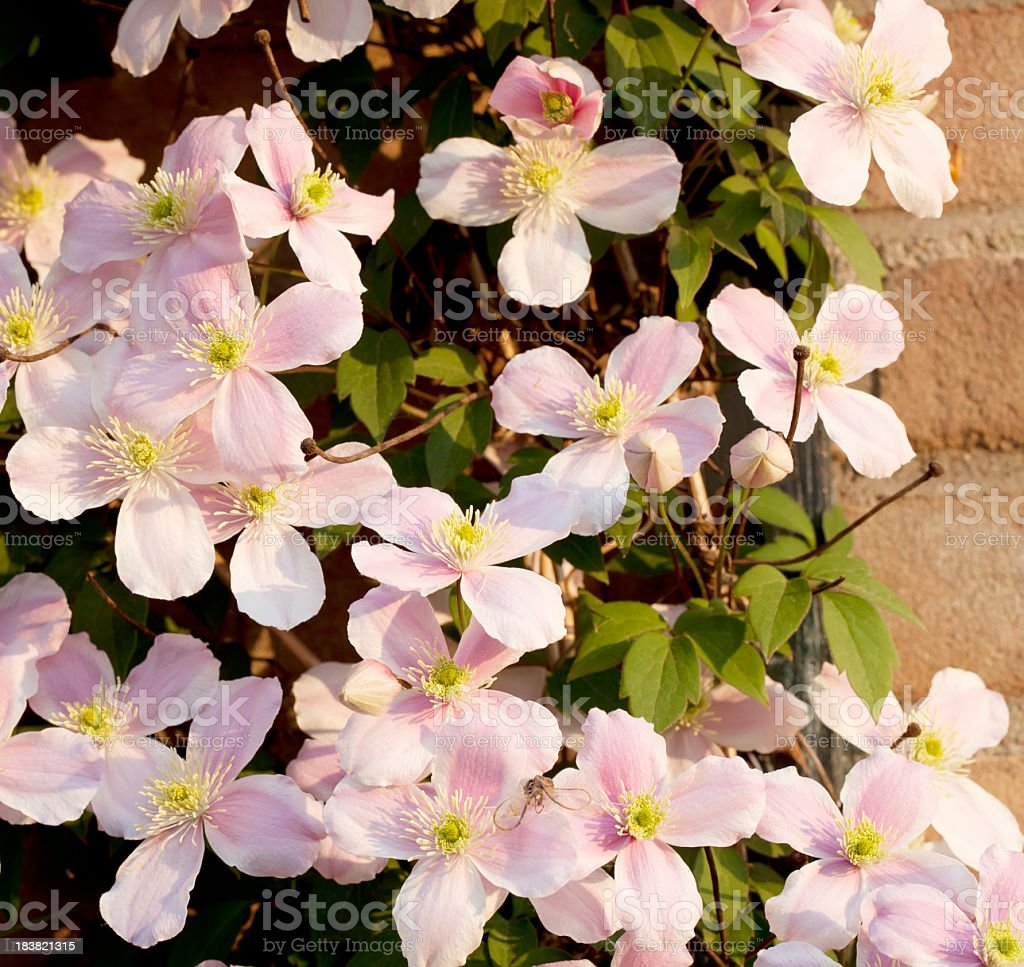 Clematis montana against Wall in Morning Light royalty-free stock photo