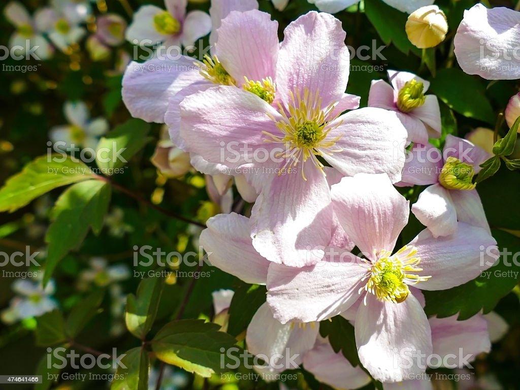 Clematis montana close up stock photo
