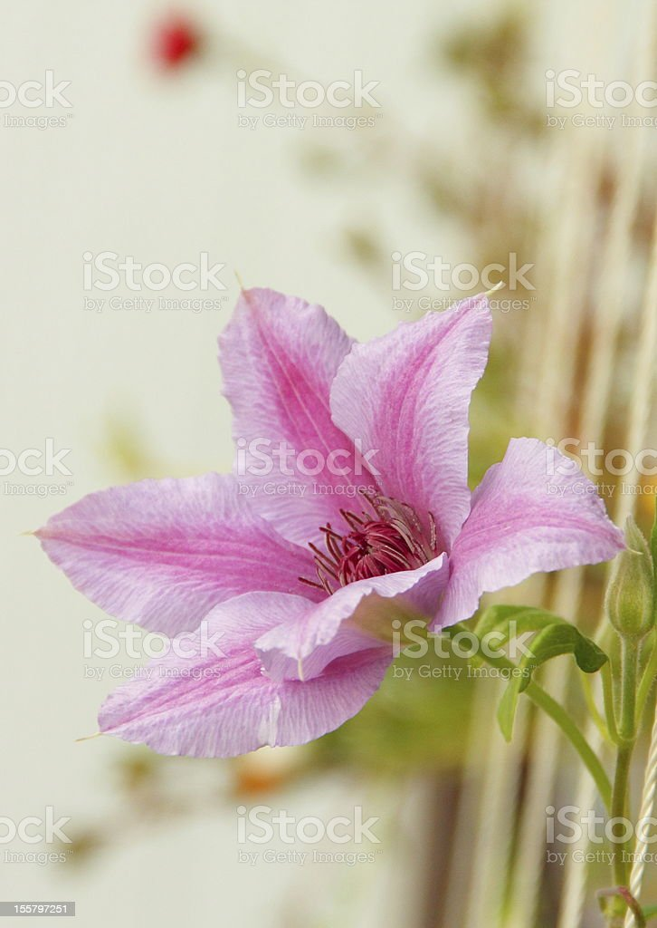 Clematis 'Nelly Moser' royalty-free stock photo