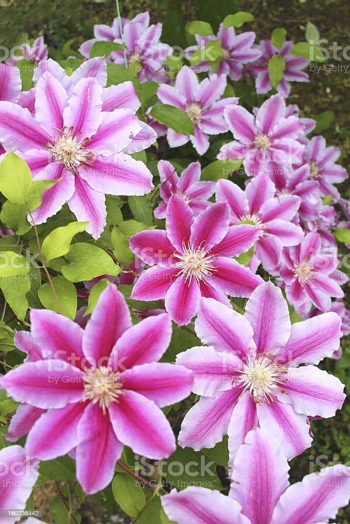 Clematis Nelly Moser stock photo