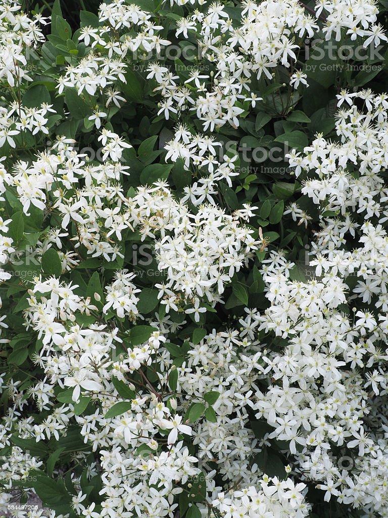 Clematis paniculata . flowering shrub in the garden stock photo