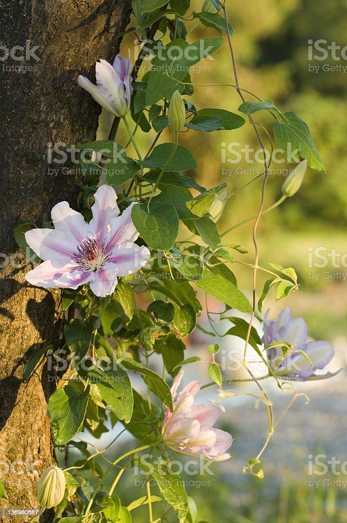 Clematis stock photo