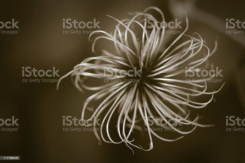 Clematis seed head royalty-free stock photo