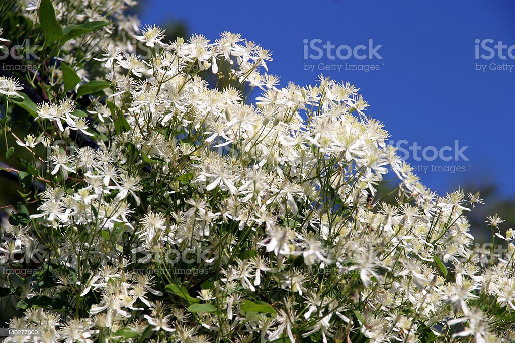 Clematis Terniflora - white royalty-free stock photo