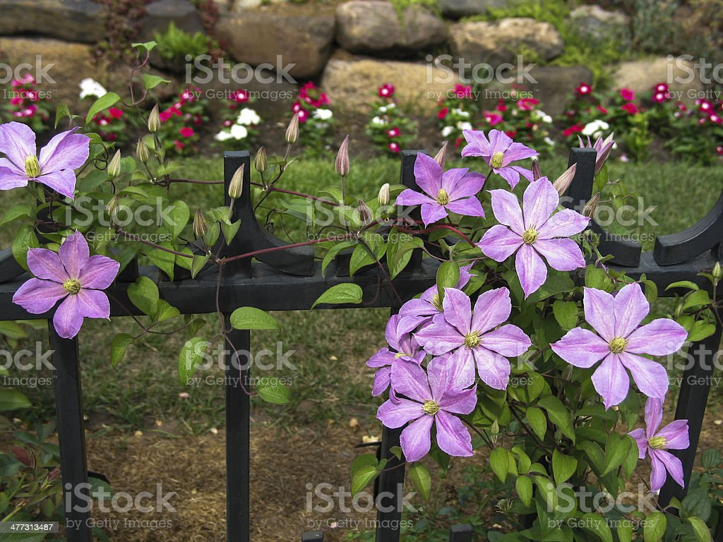 Clematis Vine on Wrought Iron Fence royalty-free stock photo