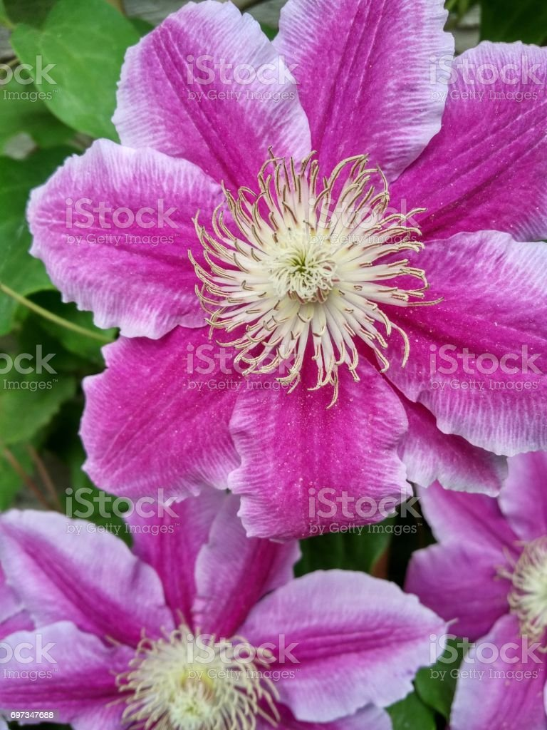 Clematis Vine Purple stock photo