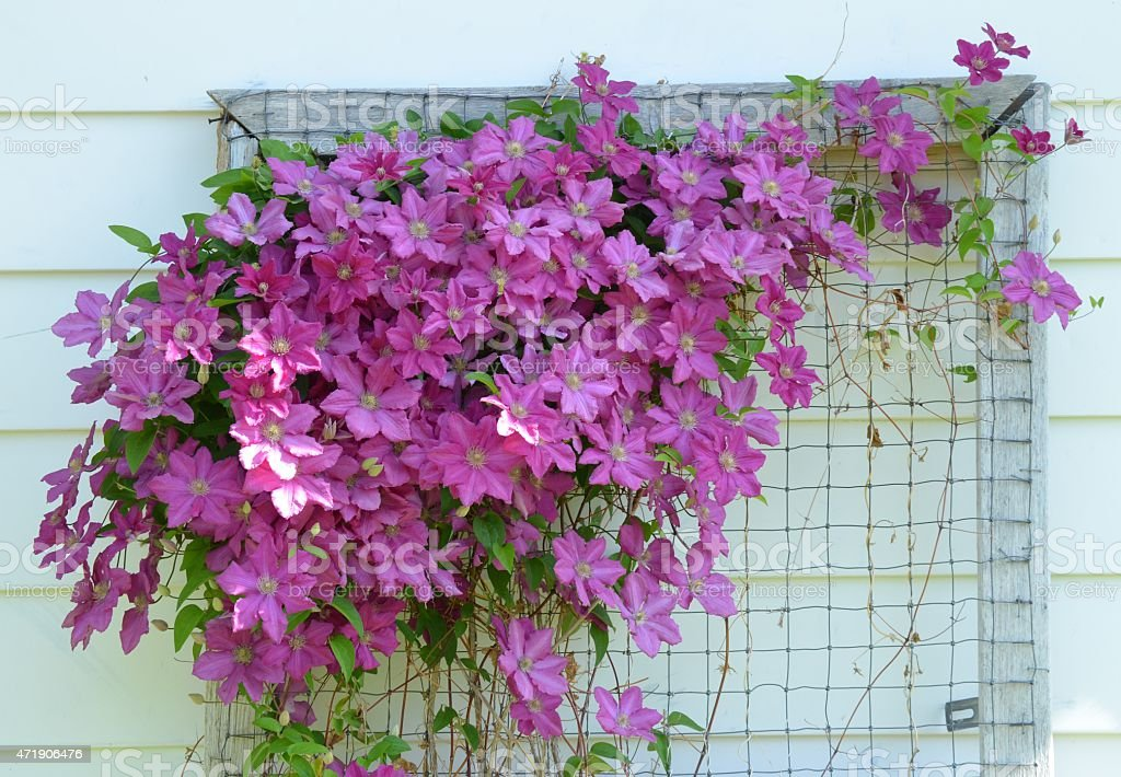 Clematis vines on trellis stock photo