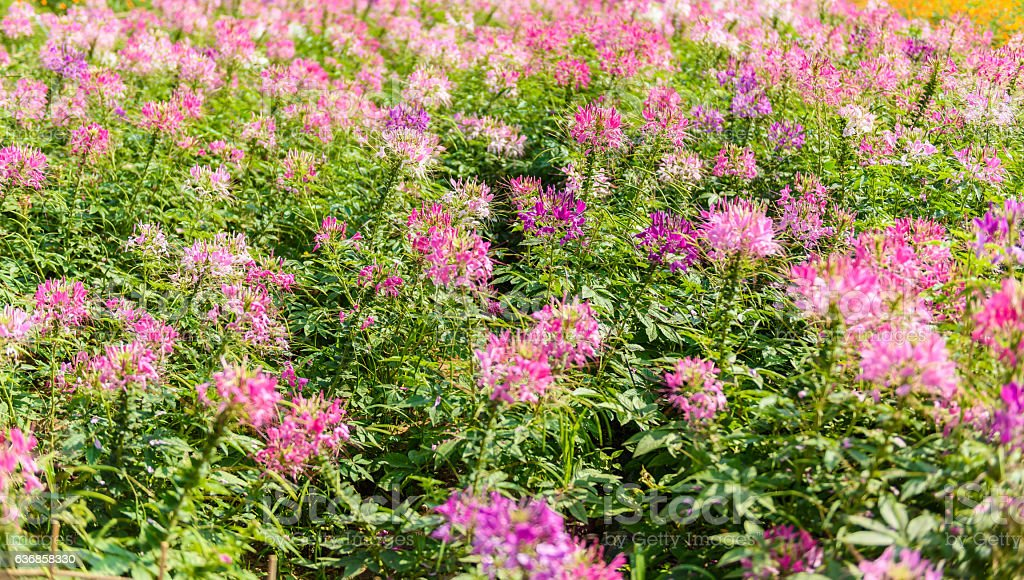 Cleome flowers in the field. stock photo