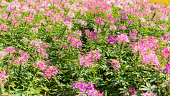 Cleome flowers in the field.