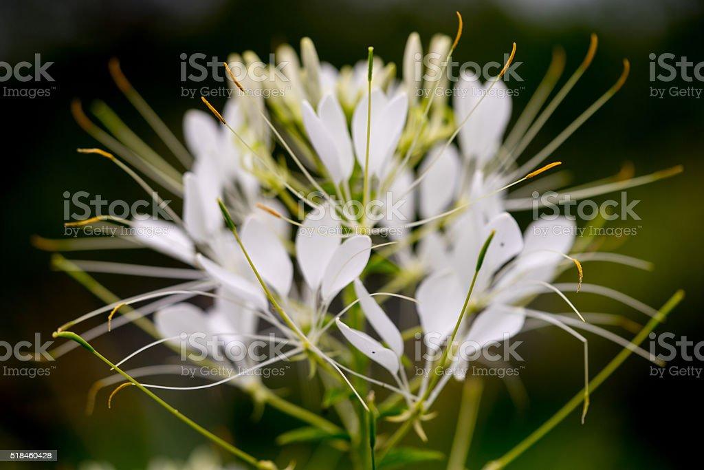 Cleome hassleriana - spider flower in the garden stock photo