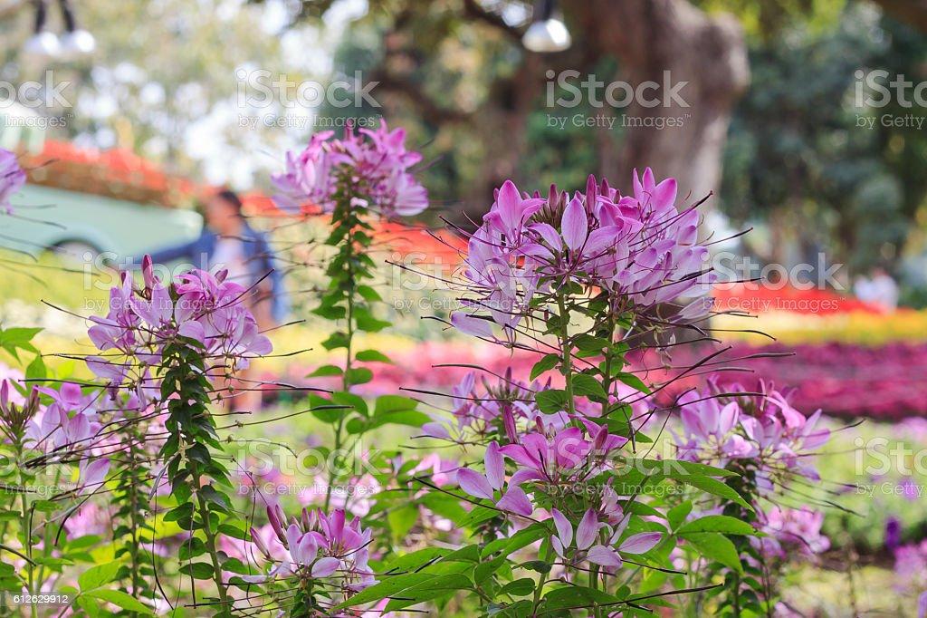 Cleome hassleriana, spider flower in the garden stock photo