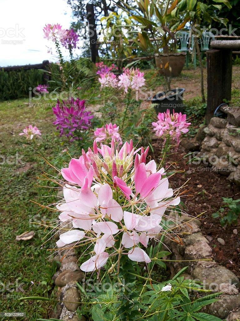 Cleome hassleriana,spider flower stock photo