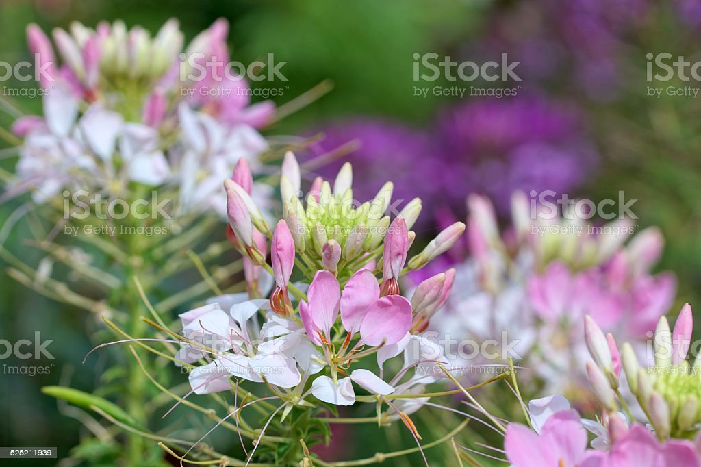 Cleome spinosa flowers stock photo