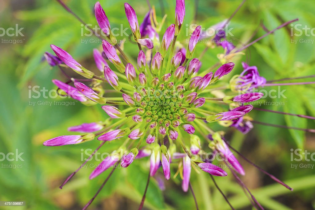 Cleome Spinosa Jacq , Spider Flower, Prickly Spider-Flower, royalty-free stock photo