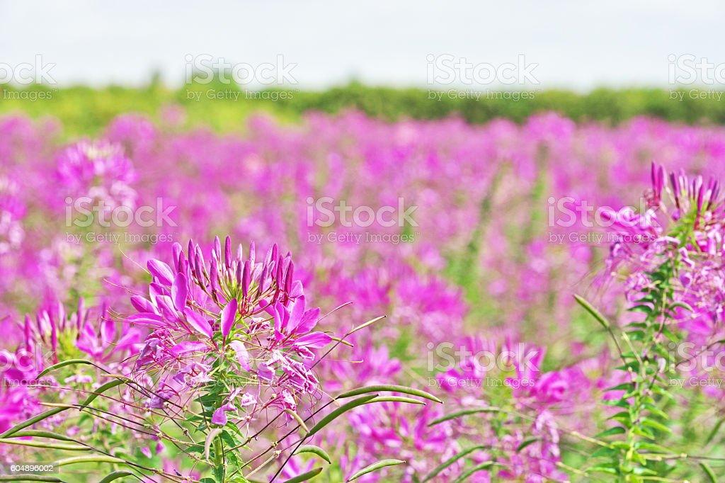 Cleome spinosa stock photo