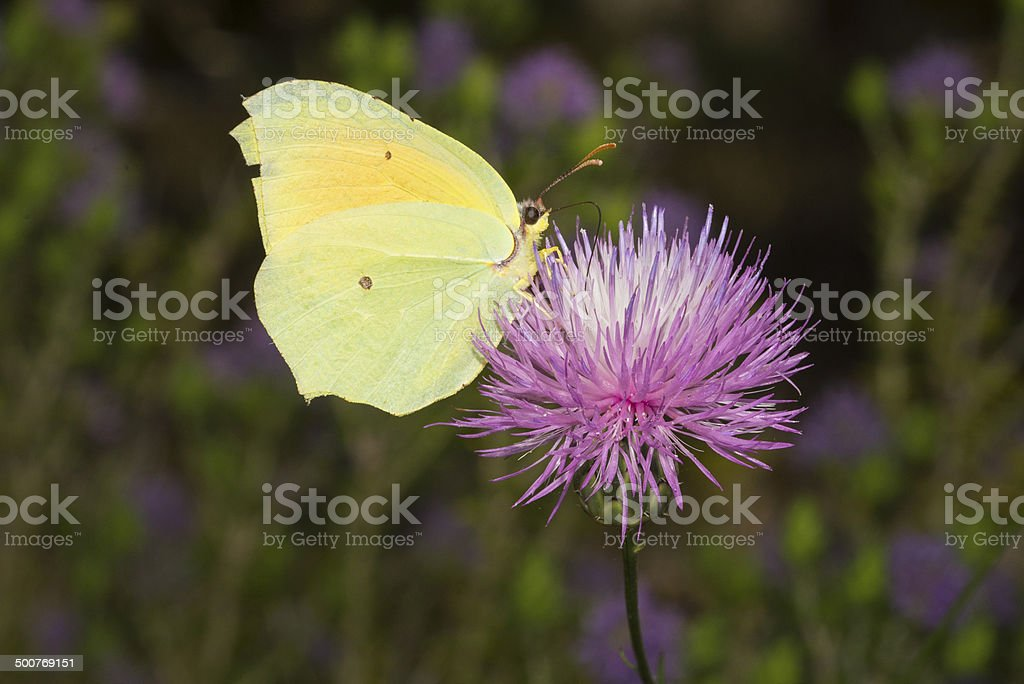 Cleopatra butterfly, Gonepteryx cleopatra, nectaring royalty-free stock photo