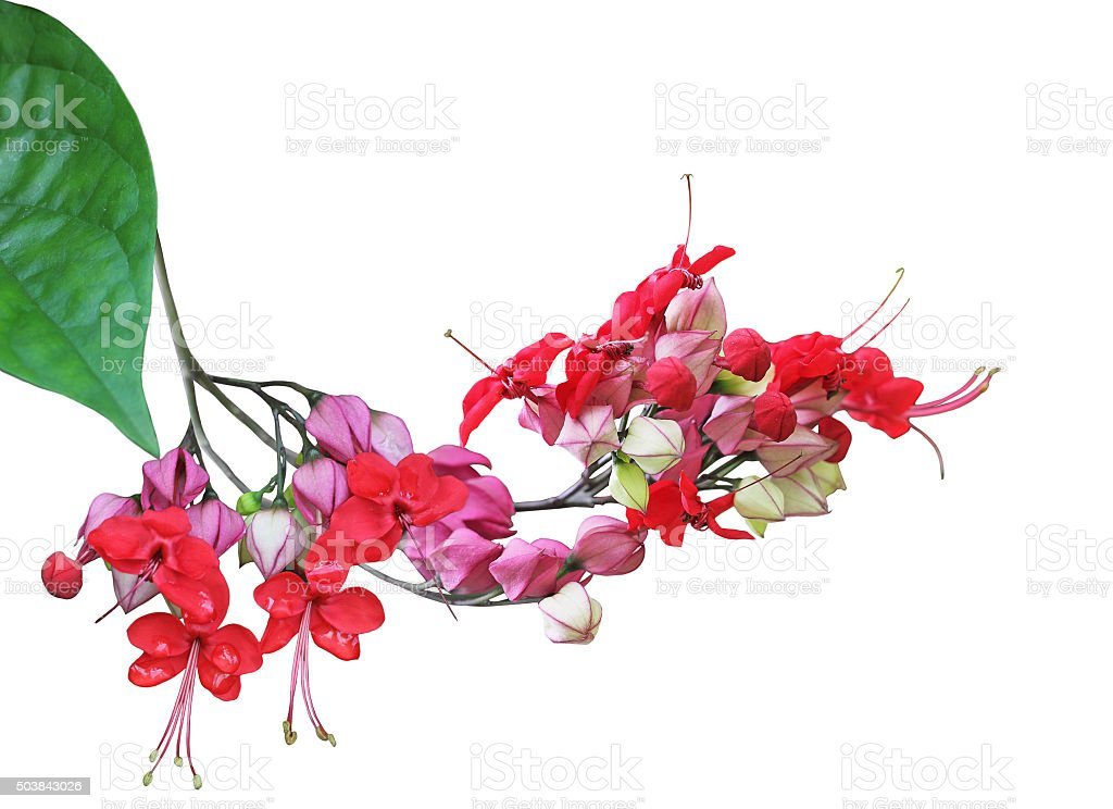 Clerodendrum thomsoniae Flower stock photo