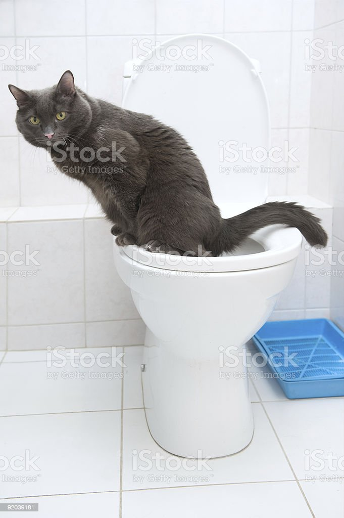 Clever domestic cat in a toilet stock photo