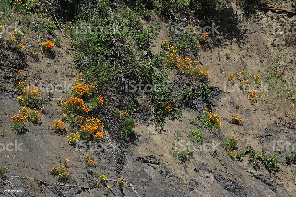 Cliffside Golden Poppies stock photo