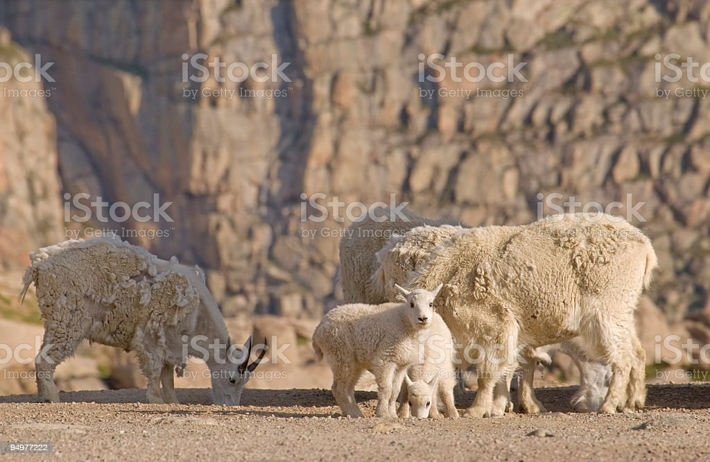 Cliffside Rocky mountain Goats royalty-free stock photo