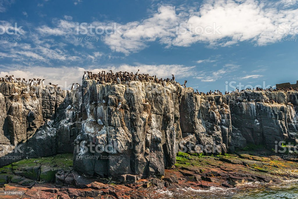 Clifftop colony of seabirds stock photo