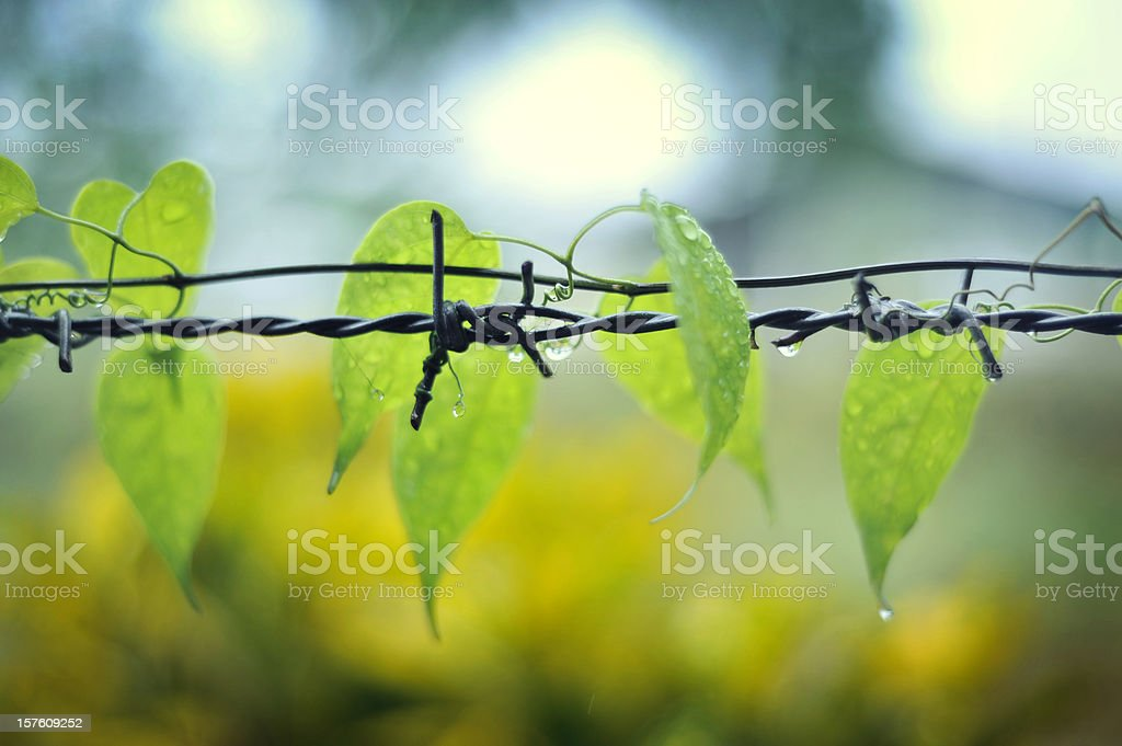 climb plant on a barbed wire stock photo