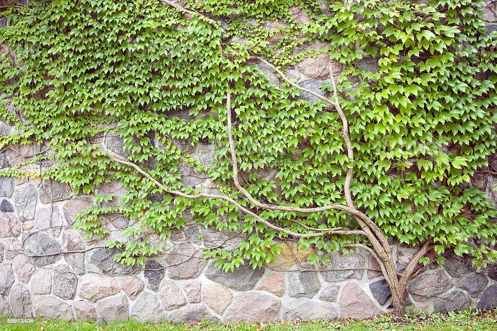 climber plant stock photo